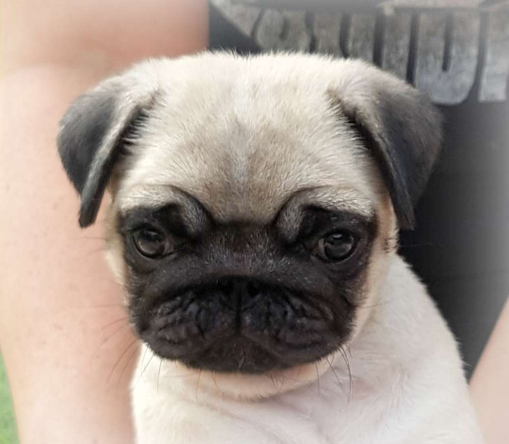 Pugs We Have Produced